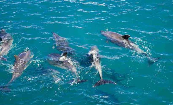 Dolphin Pod in Blue Water