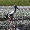 Black necked stork (Jabiru) wading in billabong Kakadu National Park